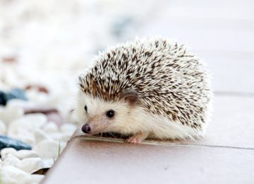 Hedgehog is strong!